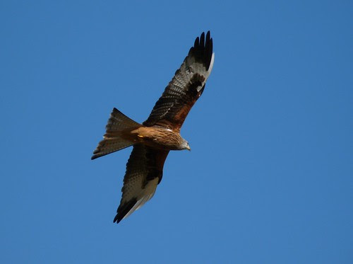 12093 - Red Kite at Gigrin Farm