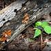 BPH Mushroom 11
