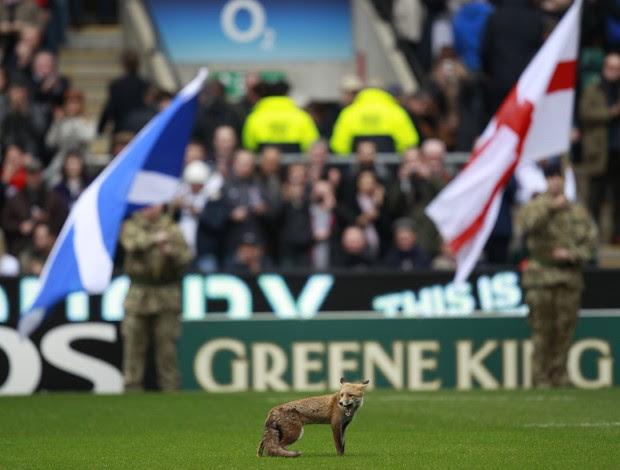 Raposa invade jogo de rugby inglaterra e escocia (Foto: Reuters)