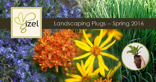 🌱  Native Plant - Landscaping Plugs - Available while supplies last
