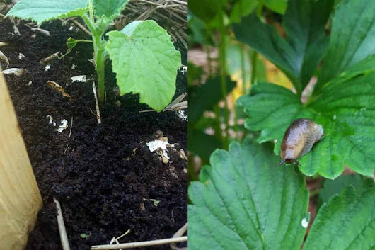 How to get rid of slugs in your vegetable garden