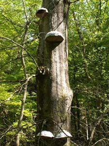 Träd på Söderåsen under attack