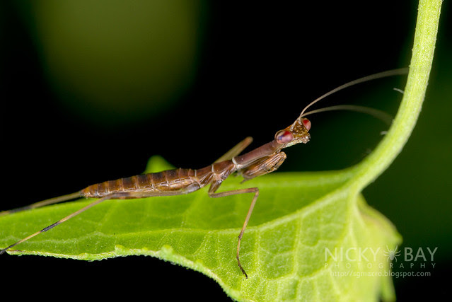 Praying Mantis (Mantodea) - DSC_2928