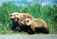 http://upload.wikimedia.org/wikipedia/commons/thumb/0/0f/A_mother_and_a_cub_bears.JPG/200px-A_mother_and_a_cub_bears.JPG