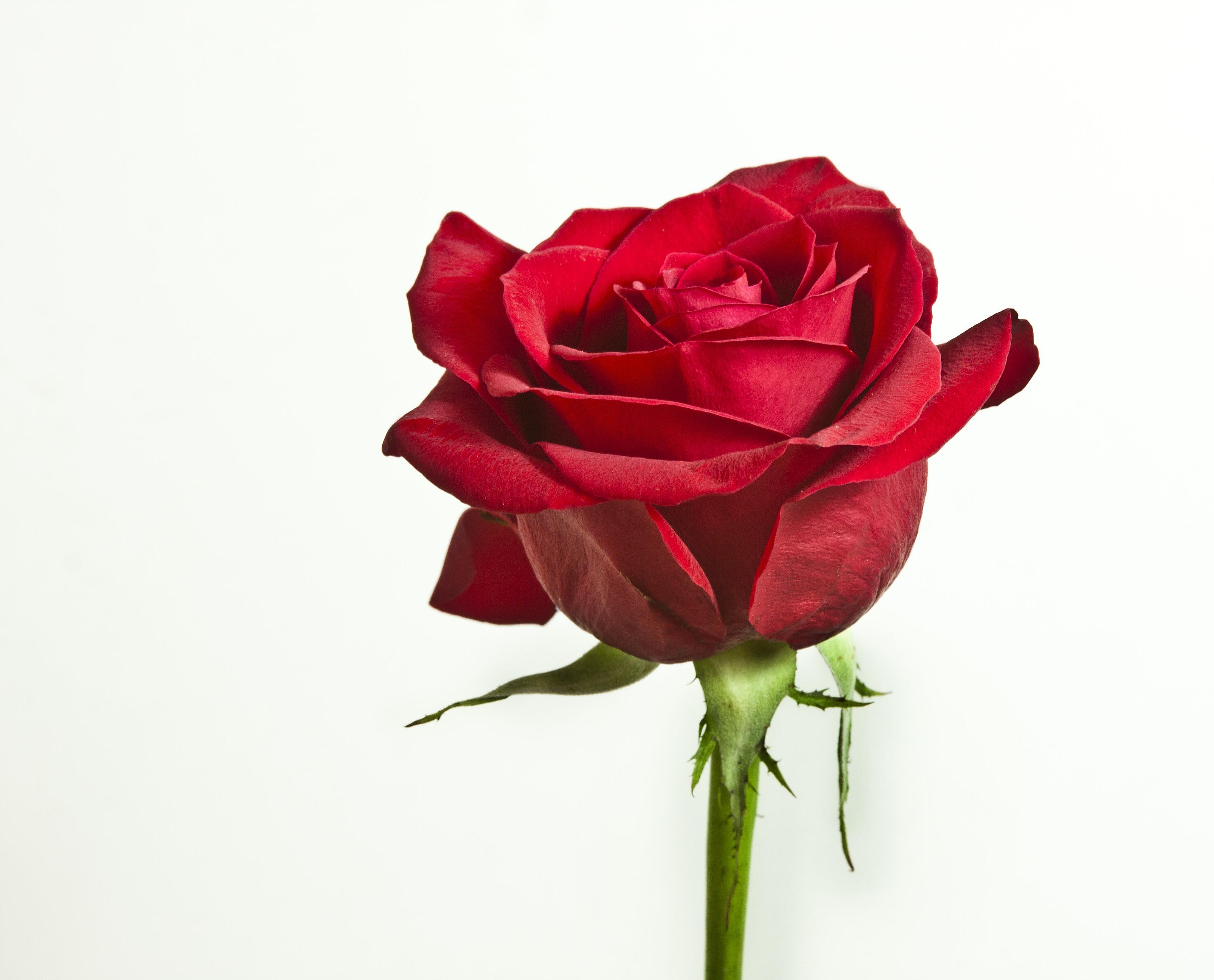 無料写真素材 花 植物 薔薇 バラ画像素材なら 無料 フリー写真素材のフリーフォト
