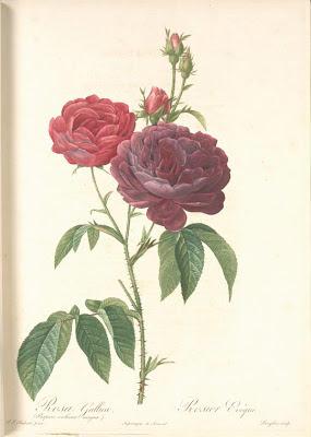 Rosa Gallica (Purpuroviolacea Magna)