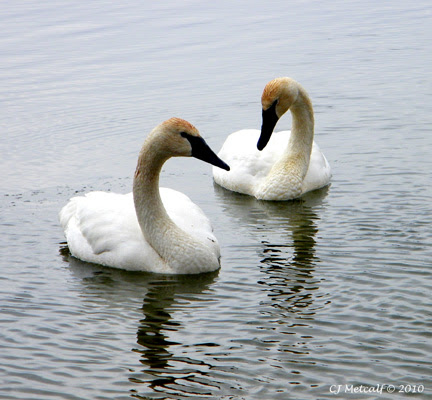 trumpeter swan pictures. Trumpeter Swans are known for