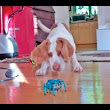 Maymo the Puppy vs. A Remote Control Robot Crab