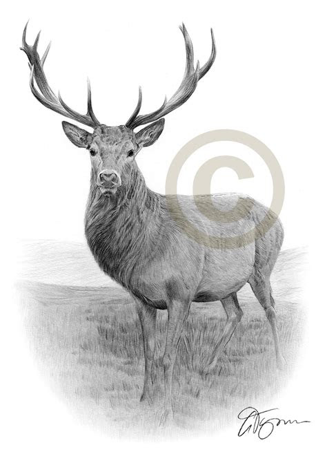 stag pencil drawing art print   sizes signed uk