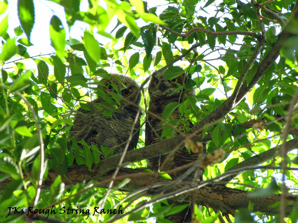 Two Owlets