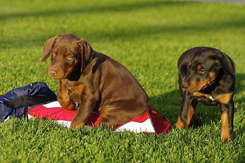 Pentax DA* 50-135mm f/2.8 on Doberman Puppies
