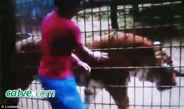 Φρίκη! Τίγρης ξεσκίζει το χέρι 11χρονου – ΦΩΤΟ και ΒΙΝΤΕΟ