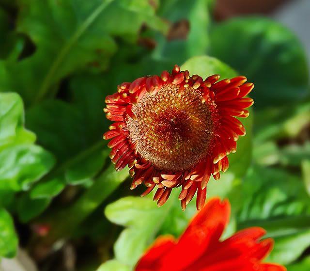 Gerbera Daisy Close-up in Barcelona garden [enlarge]