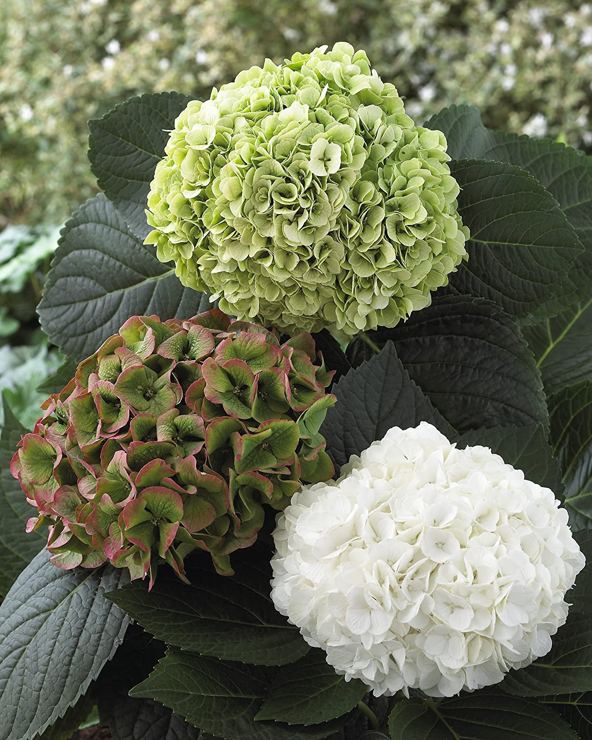 Hydrangea Magical Pearl is a winner!