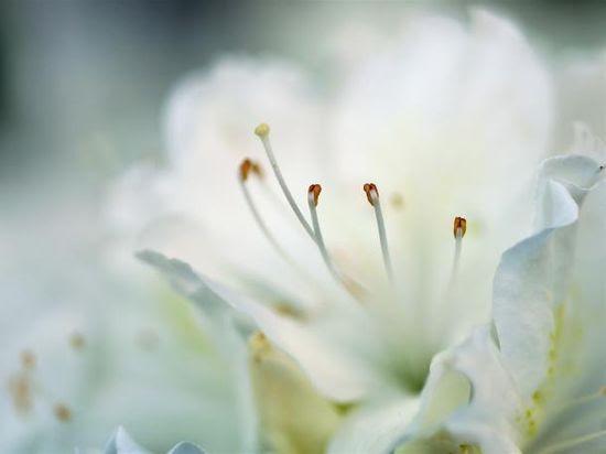 Muy hermosa flor blanca flor del manzano.