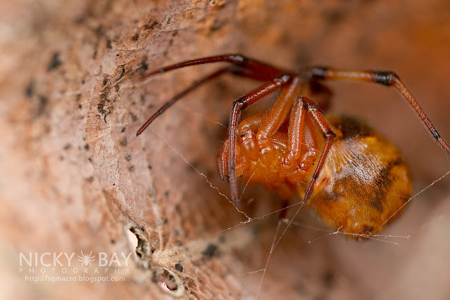Comb-Footed Spider (Theridiidae) - DSC_2110