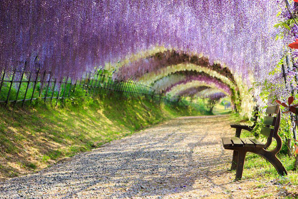 Image result for Wisteria Flower Tunnel, Japan