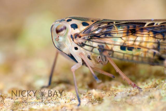 Planthopper (Dichoptera sp.?) - DSC_2288