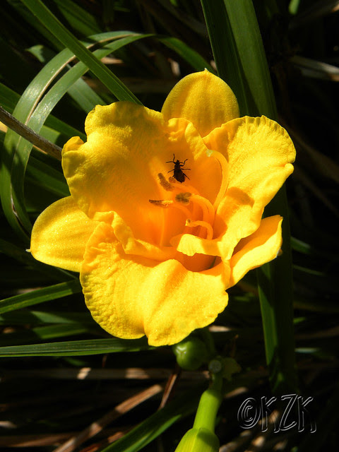 DSCN1808 Day Lily