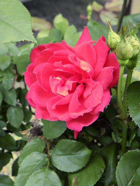 DSCN3451 Rose