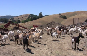 Pacheco Family Dairy Goat Herd