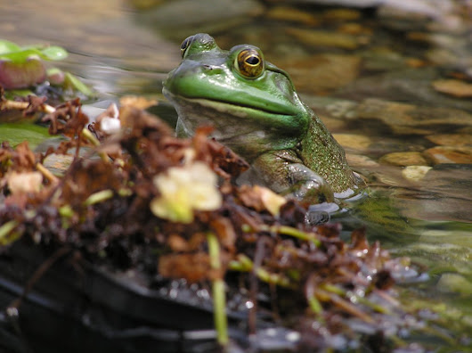 Predator Control and Pond Critters in Your Water Feature
