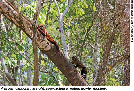 A brown capuchin, at right, approaches a resting howler monkey.