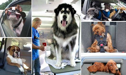 Driving with Dogs | Travelling Tips & The Law | Motoring Law
