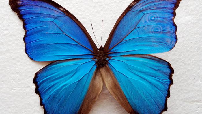 Blue Morpho Butterfly HD Wallpaper 20747 - Baltana