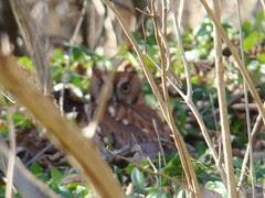 Bad shot of cute screech owl