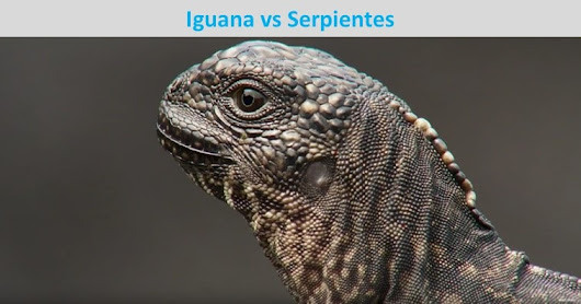 Iguana vs serpientes - Planet Earth II - SinCopyright.com