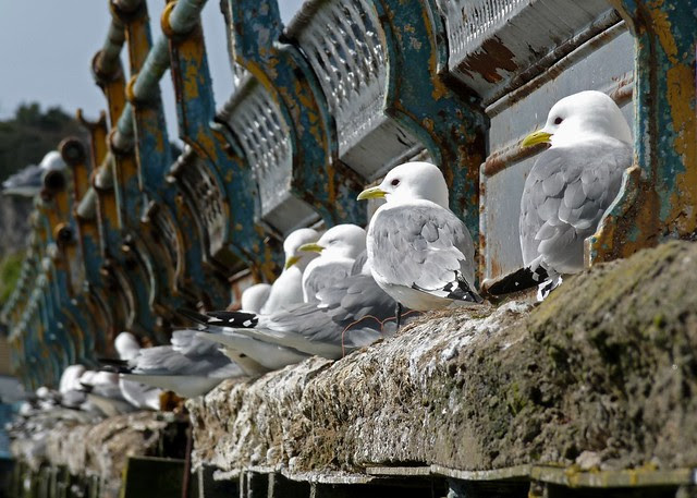 24111 - Kittiwake on Mumbles Pier