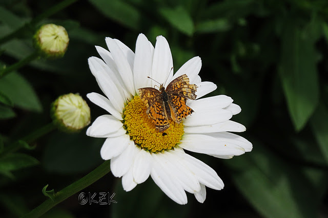IMG_5683DaisyButterfly