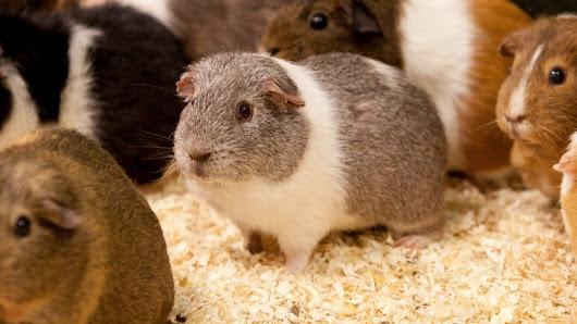 Guinea pig to become father to 400 after breaking into female enclosure