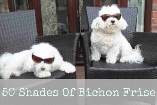 50 Shades of Bichon Frise · The Inspiration Edit