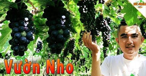 Tham quan Vườn Nho Ba Mọi Ninh Thuận | Miễn phí từ A-z | Duy Jungle