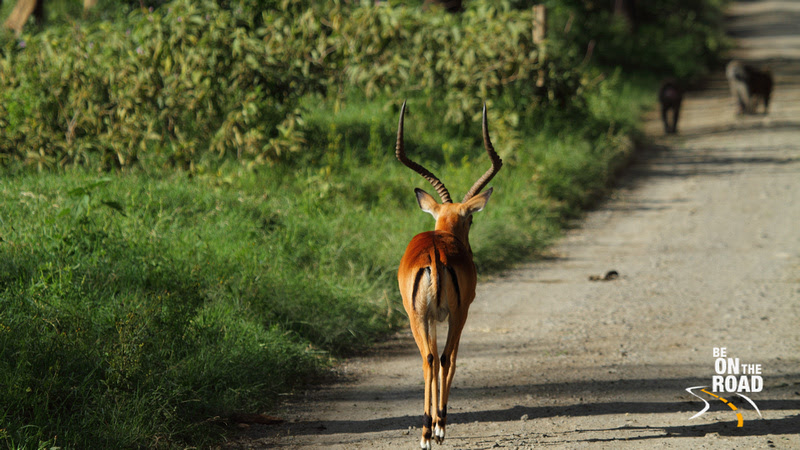 A male Impala walks on the jeep track at Lake Nakuru National Park