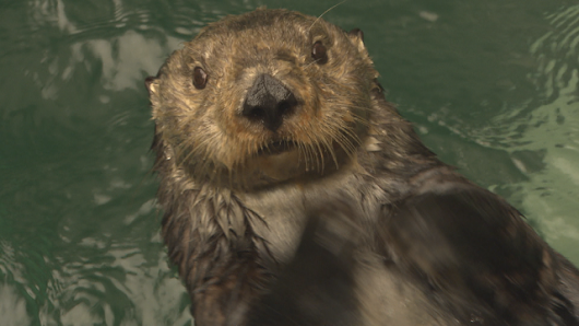 Balancing Act: Otters, Urchins and Kelp