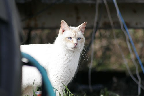 White Feral Cat