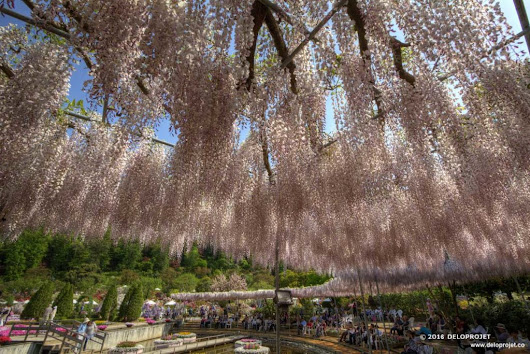 Ashikaga Flower Park paradise for flower photographers