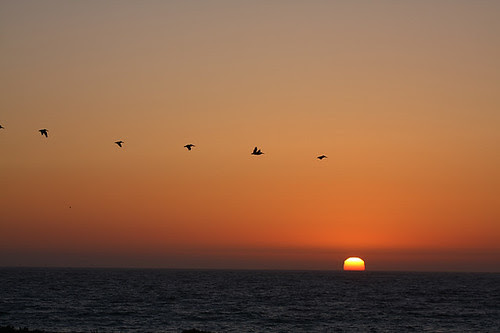 Pelicans in sunset