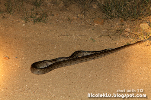 python on the road at night