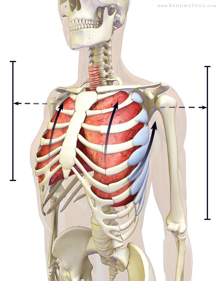 serratus anterior expanding the lungs