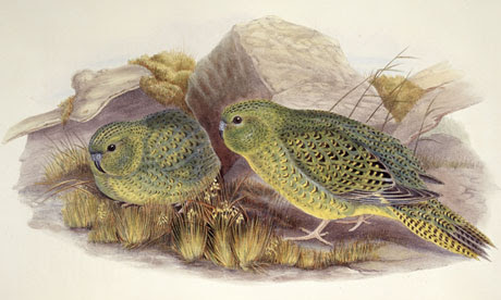 Australian bushman claims to have footage of legendary night parrot