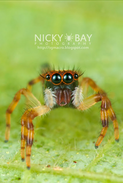 Jumping Spider (Salticidae) - DSC_5505