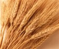 Wheat_photo_03.jpg