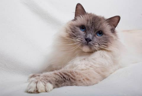Ragdoll Cat Breed Information Advice About Ragdoll Cats Your Cat