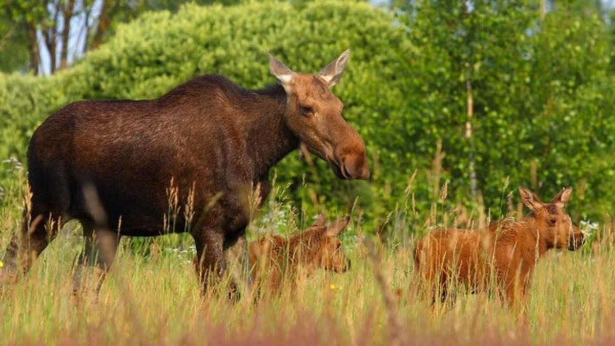 txernobyl-inguruan-animalia-basatiak-ugaritzen-ari