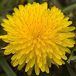 Thinking of Spring...Dandelions - Cloverleaf Farm