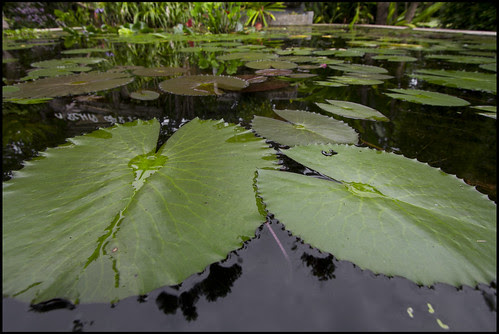 Lily Pond at the Botanic Garden